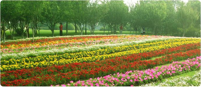 台安县馨艺花卉苗木种植园位于辽宁省京沈高速台安出口6公里处,距台安火车站5公里处,交通便利。这里有几千亩耐寒宿根花卉繁育基地,本苗圃现已发展200余亩,员工20余人,年生产品种百余种,千万余墩种苗,是东北地区专业繁育及销售为一体的耐寒宿根花卉园艺场。本苗圃以诚信为本,以质量求发展,以合作共赢为目的,以客户满意为宗旨,欢迎新老顾客实地光临选购。 品种齐全,量大优惠。